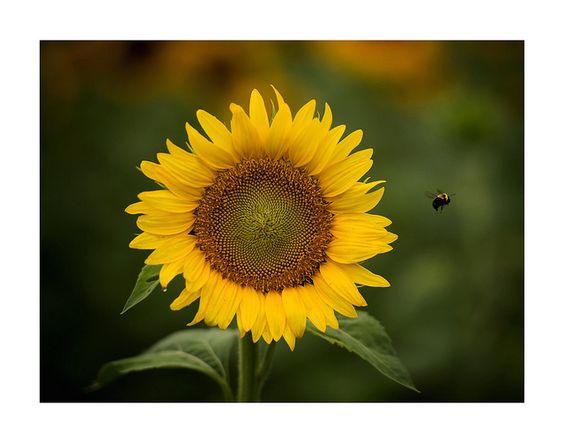 Sunflower with Bee by JPKarner