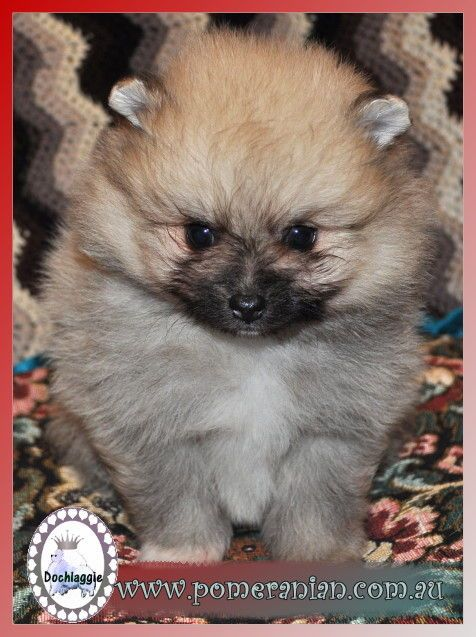 Chihuahua Puppies For Sale Melbourne Zoe Fans Blog Chihuahua