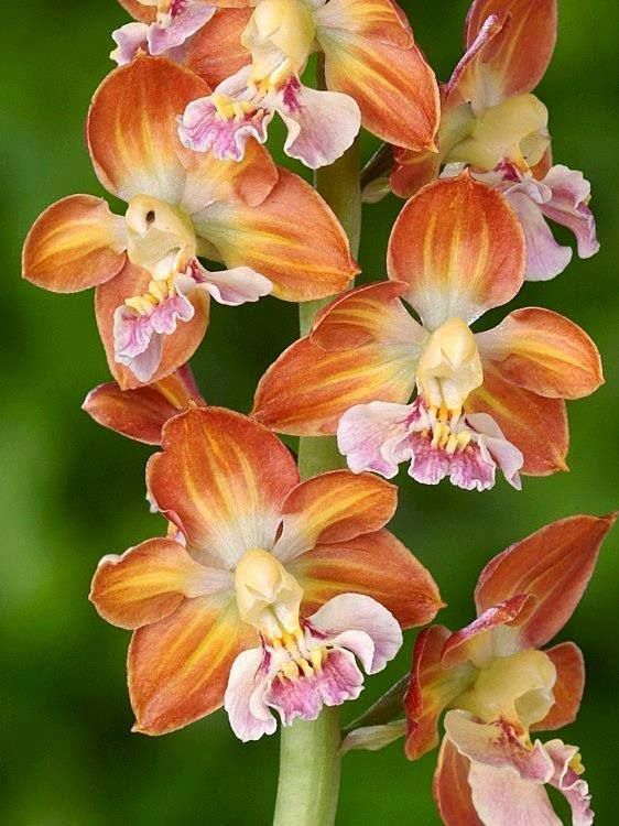 Brown orchids: