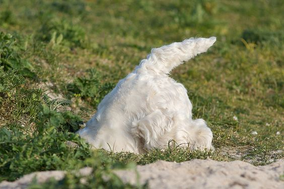 A Westie doing it's thing! Love that little hiney!