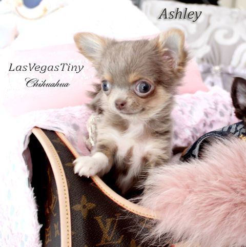 Available Chihuahua Puppies Las Vegas Nv Chihuahua Puppies