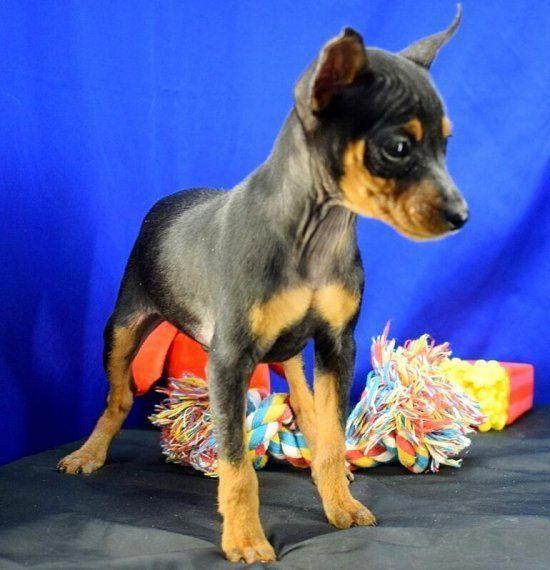 Learn More Relevant Information On Pinscher Puppy Check Out Our Site Pinscherpuppy Miniature Pinscher Puppy Puppies Dogs Hugging