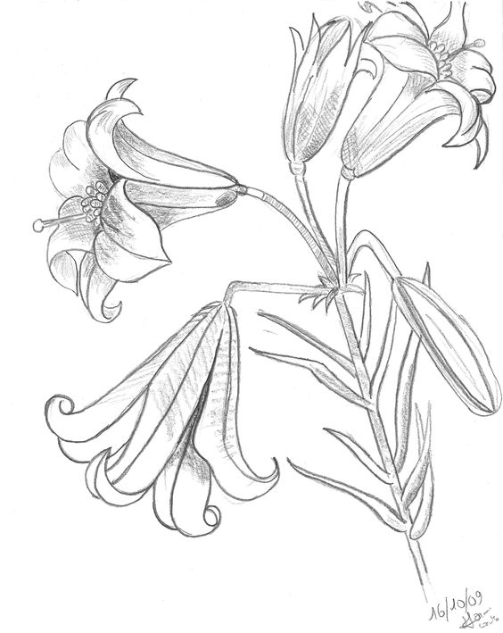 Line Drawing Lily : Tiger lily coloring pages pictures imagixs line