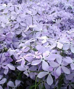 hs bis abs, blüht 4 - 5, 40 cm h, Phlox divaricata 'Clouds of Perfume' - Wald-Phlox - Schnecken fressen Austrieb