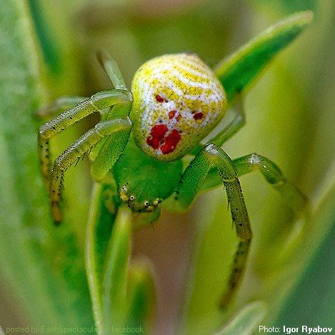 """The Sad Clown"" by Igor Ryabov This crab spider bears a resemblance to the 'clown' character in Stephen King's 1990 hit-film 'It.' May be therefore Igor named it sad clown. 'Crab Spider' belongs to the thomisidae family, also known as ""six eyed crab spider"" as it bears markings near its eyes that looks like real eyes and also due to the skeleton like markings on its back. Earth Spectacular — with Sunny Praditniramanonda."