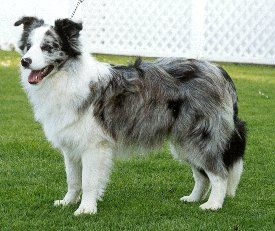Border collies collie and blue merle on pinterest