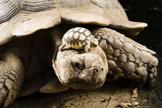 A 4-day-old African spurred tortoise sunbathes on its mother's head