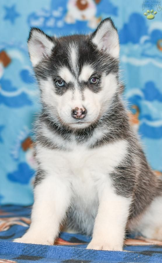 Bella Siberian Husky Puppy For Sale In Holmesville Ohio Siberianhusky Husky Puppies For Sale Husky Puppy Husky