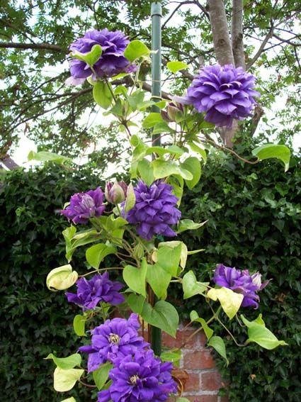 clematis franziska maria backyard pinterest clematis