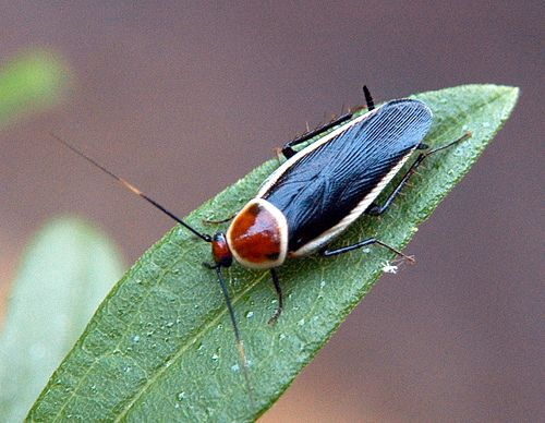 Fred Name, you've sent me on a pin-a-palooza and this is one gorgeous tricolor roach. ID please. Source too.