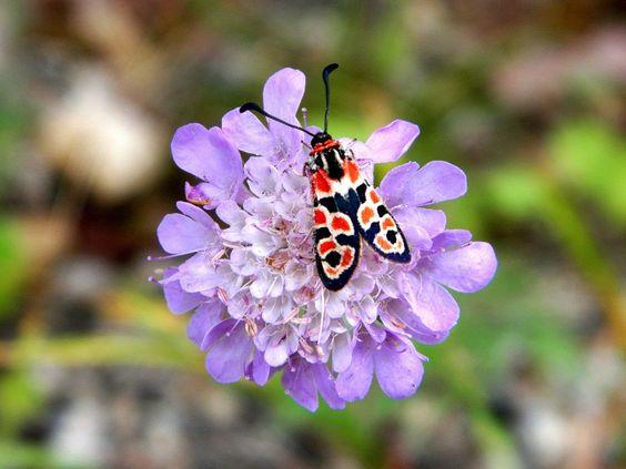 Cassiopée2010 posted a photo:  Papillon Zygène sur la fleur Scabieuse colombaire