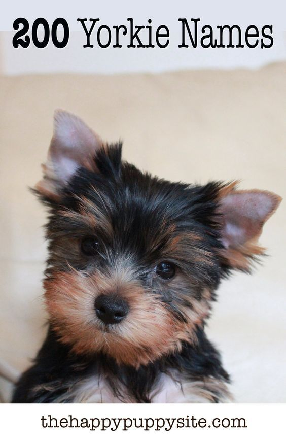 Yorkie Names 200 Amazing Ideas For Naming Yorkshire Terriers