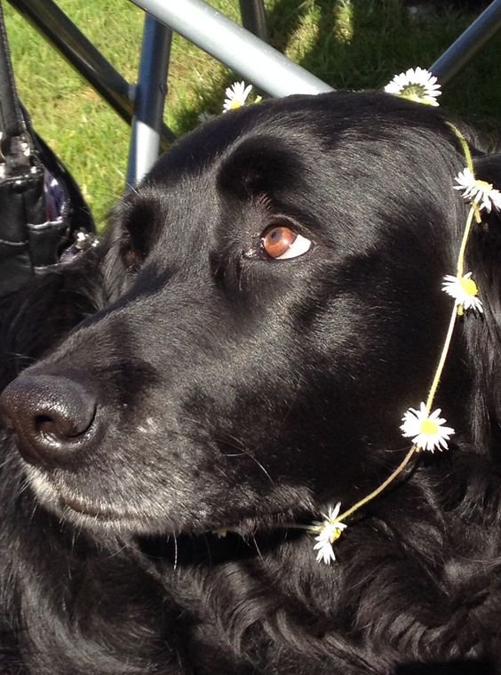 My cousins dog is gorgeous and I love the daisy chain!