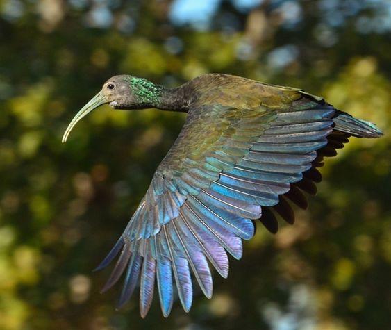 Foto coró-coró (Mesembrinibis cayennensis) por Rafael Fortes | Wiki Aves - A Enciclopédia das Aves do Brasil