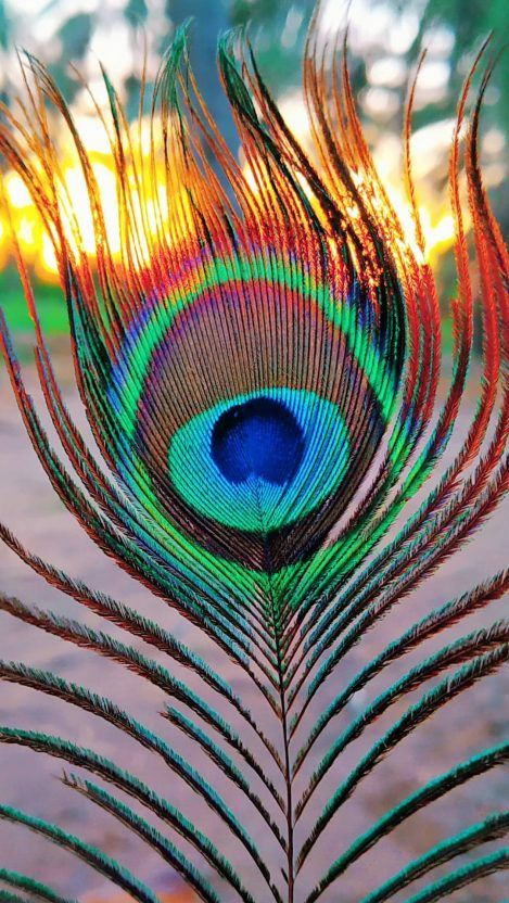 Peep Of Peacock Iphone Wallpaper Nature Iphone Wallpaper Iphone Wallpaper Landscape Lord Krishna Wallpapers