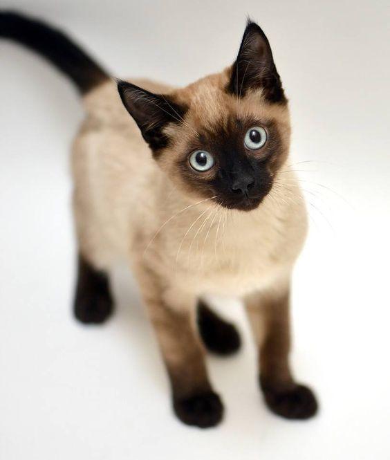 cute fluffy siamese kittens - photo #32