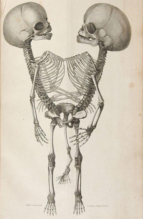 planche anatomique - squelette de siamois / source ?