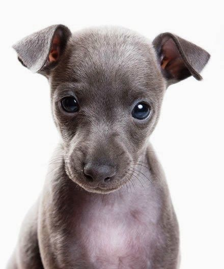 safe cute dogs that are hypoallergenic - Google Search