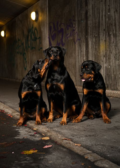 Rottwieller: Dogs Rottweilers, Adorable Rotties, Rotti S, Dogs Dobbies Pitties Rotties, Beautiful Rottweilers, Rottweiler S, Animal, Rottie S