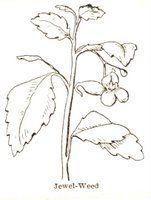 Botany: Coloring Page for Jewelweed | The Common Room