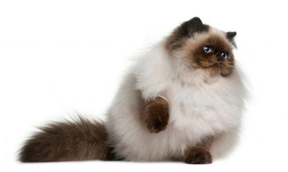 101 Jenis Kucing Ras Yang Ada Di Dunia Terlengkap Okdogi Com Di 2020 Cornish Rex Ocicat Kucing Bombay