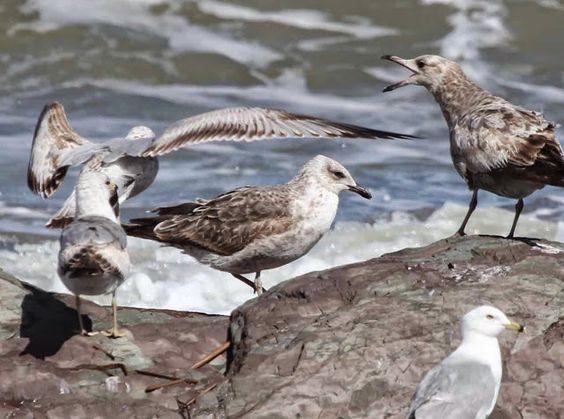 Les oiseaux de la région de La Pocatière, Québec: Goélands (beaucoup!), parulines et orioles