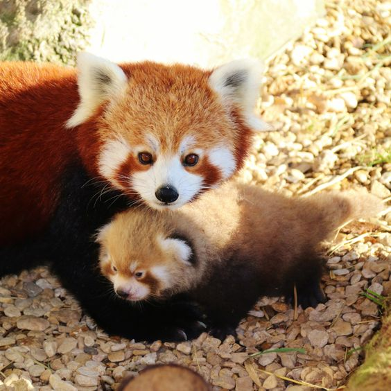 4_Mother and baby red pandas at Longleat PIC Ian Turner