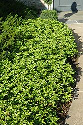 "Green Carpet Japanese Spurge  Pachysandra terminalis ""Green Carpet"""