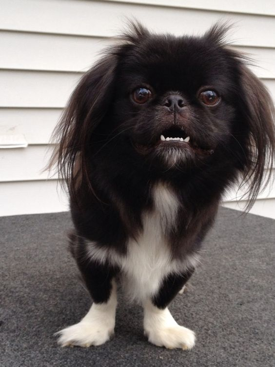 Pictures Of Black Pekingese Dogs