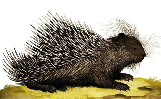 1599-1603  Ulisse Aldrovandi  Hystrix Cristata. #animals #Ilustracion #Retro @deFharo