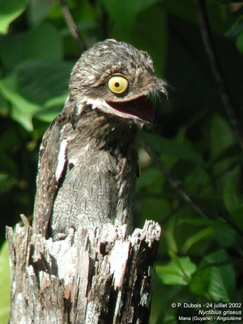 COMMON POTOO... large bird related to the nightjars and frogmouths, but like other potoos it lacks the bristles around the mouth found in the true nightjars. It is 33–38 cm long and pale greyish to brown, finely patterned with black and buff, camouflaged to look like a log; this is a safety measure to help protect it from predators, but its mode of perch is also a camouflage. It has large orange eyes.