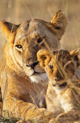 See lions on this Kenyan safari from Groupon Getaways.