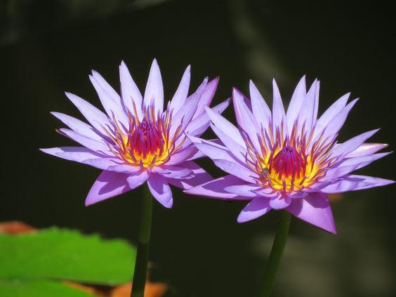 Twin's Water Lilies. Brooklyn Botanical Gargen de N-Y.   Photo de Suzanne FERET