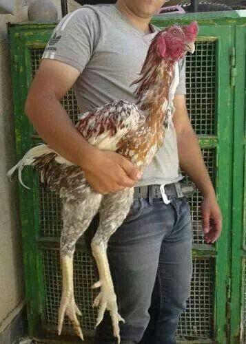 Australian game fowl | ♥ my Chickens | Pinterest | Game ...