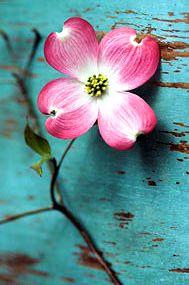 Such a pretty flower!   Pink Dogwood Tree Blossom   @Aarons Farm