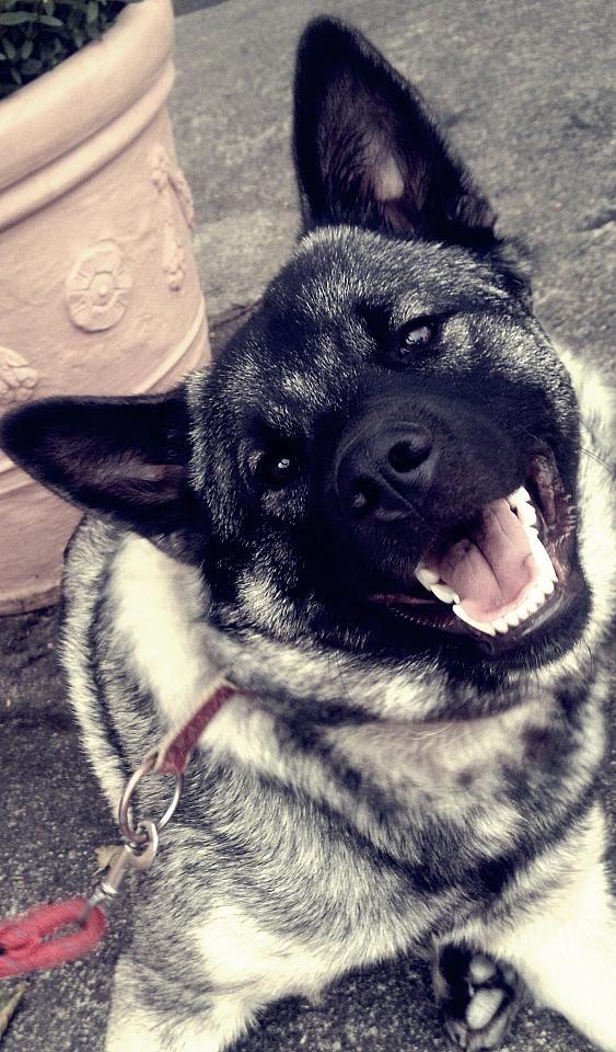 Teddy, Norwegischer Elchhund #Hund auf #widPet - Hundemarken mit QR-Code
