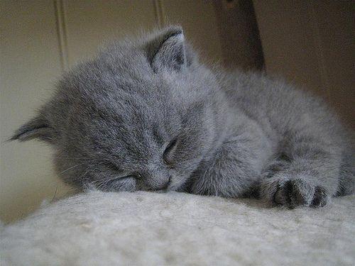 Pin By Catfanclub Rosie On Mini British Shorthair Grey Kitten