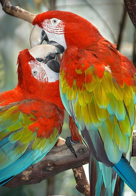Lovebirds I recently ran across some photos taken in 2008 at the Wild Animal  Park (now the San Diego Zoos Safari Park) on my external hard drive,  so I though Id post a few -- like this shot of two affectionate  Macaws.