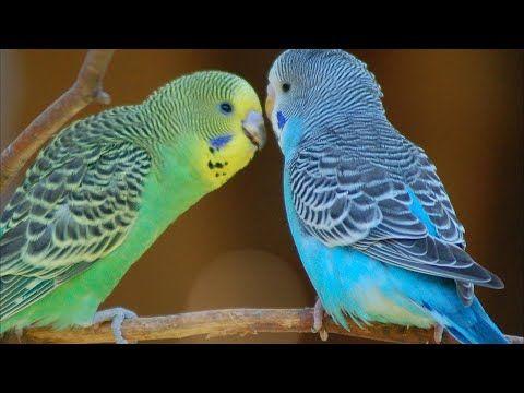 تغريد بادجي طيور الحب بث مباشر Youtube Birds Animals Bird