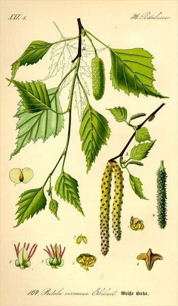 Betula pubescens - glasbjörk *** enkelsågad bladkant, bredast på mitten av bladet