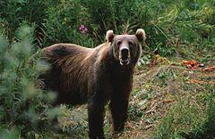 Urso-de-kodiak (Ursus arctos middendorffi)