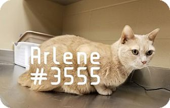 Arlene - URGENT -  Alvin Animal Adoption Center in Alvin, Texas - ADOPT OR FOSTER - Adult Spayed Female Domestic SH