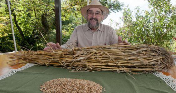 Der 80-jährige Frido Windeck freut sich über den gelungenen Versuch: Aus einem einzigen Weizenkorn wuchsen 115 Halme mit 9600 neuen Körnern.Fotos: Hüls