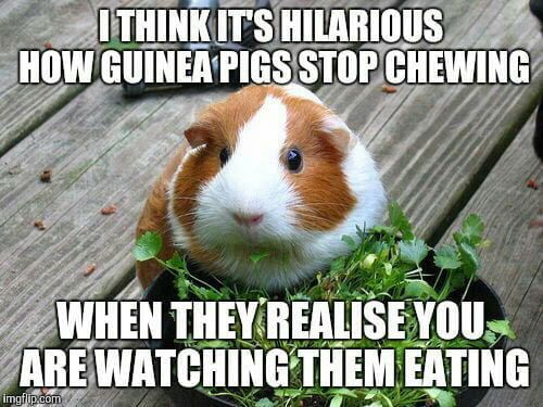 Pin On Cavy Guinea Pig
