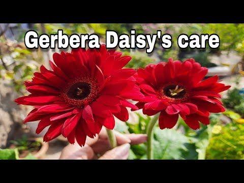 इन तर क स क ज ए जरब र क द खभ ल कभ भ नह मर ग आप क प ध द खभ ल और लग न क प र ज नक र Youtube Jade Plants Gerbera Plant Gerbera Daisy Care