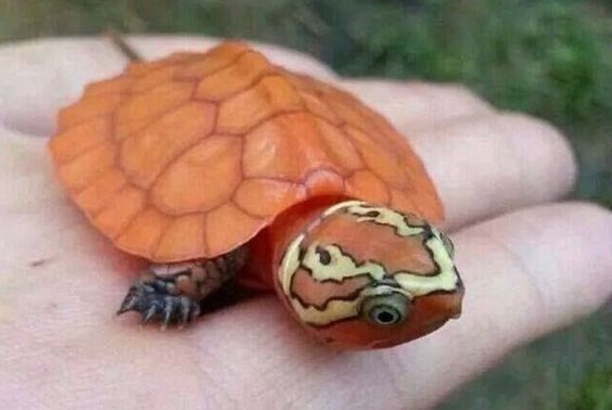 The big-headed turtle is known to readily climb over obstacles in and around rivers and fast streams, using its tail as a prop to extend the reach of its strong claws; it also uses its beak to assist in climbing.[4] It has been reported to climb trees and bushes. It is not a strong swimmer, and when swimming, this species occasionally arches its tail in the manner of a scorpion.[4] The big-headed turtle cannot pull its head in its shell. That being the case, it will not hesitate to use its…