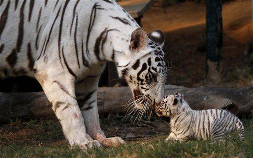 Países con tigres acuerdan preservar hábitats - http://a.tunx.co/Gs64Y