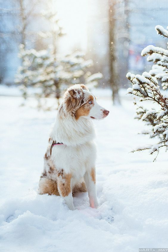 snow aussie | animals + pet photography #dogs