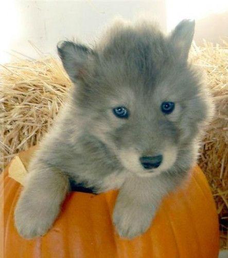 Trendy Dogs Husky Mix Wolves Ideas Dogs Wolf Dog Puppy Wolf Husky Hybrid Wolf Dog