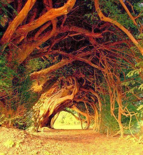 Árvores milenares...